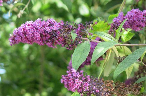 Arbre à papillon : présentation, culture et entretien